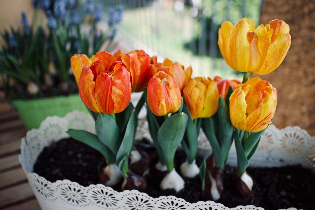 casa rinnovare tulipani vaso